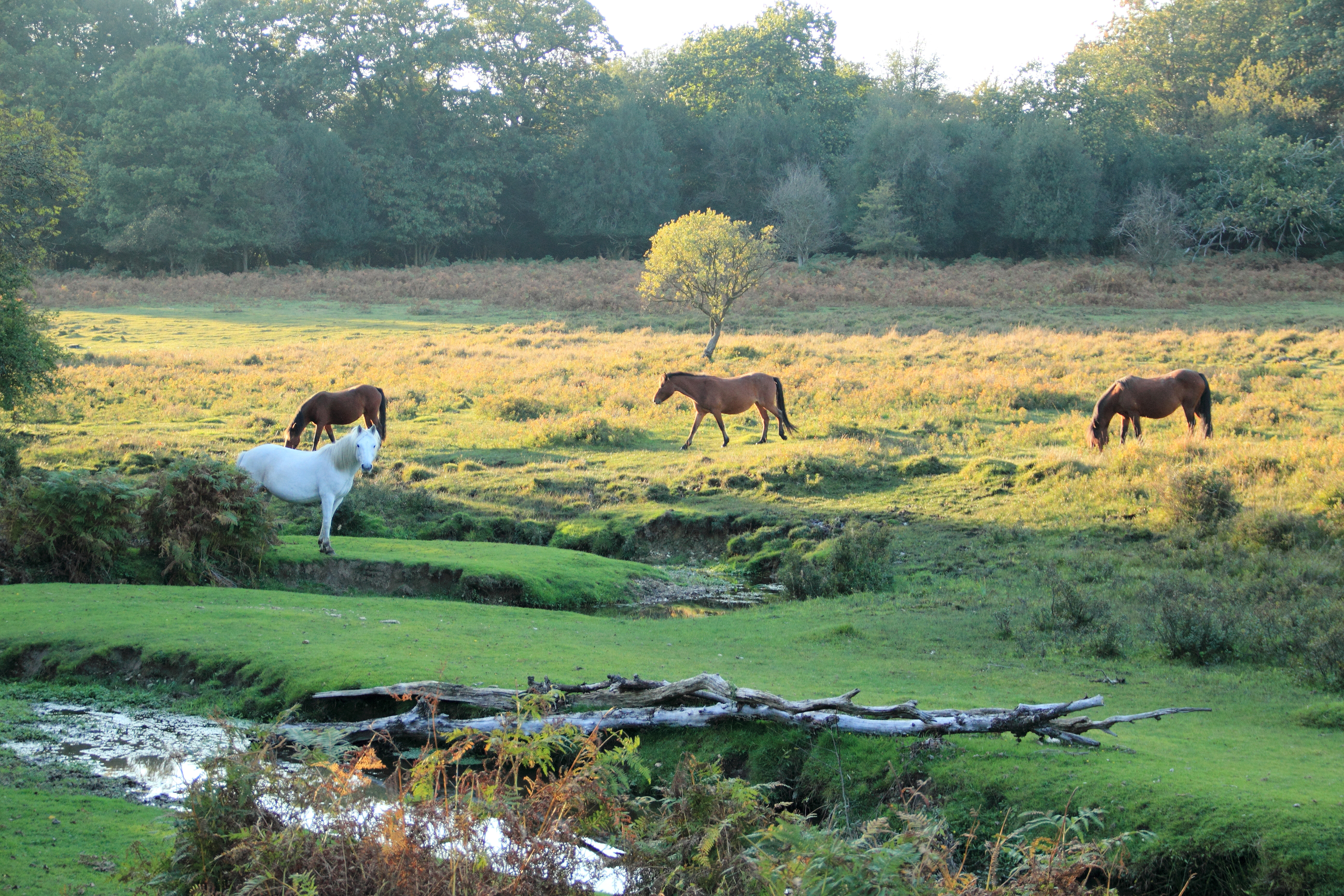 Vrij levende pony's in New Forest Engeland